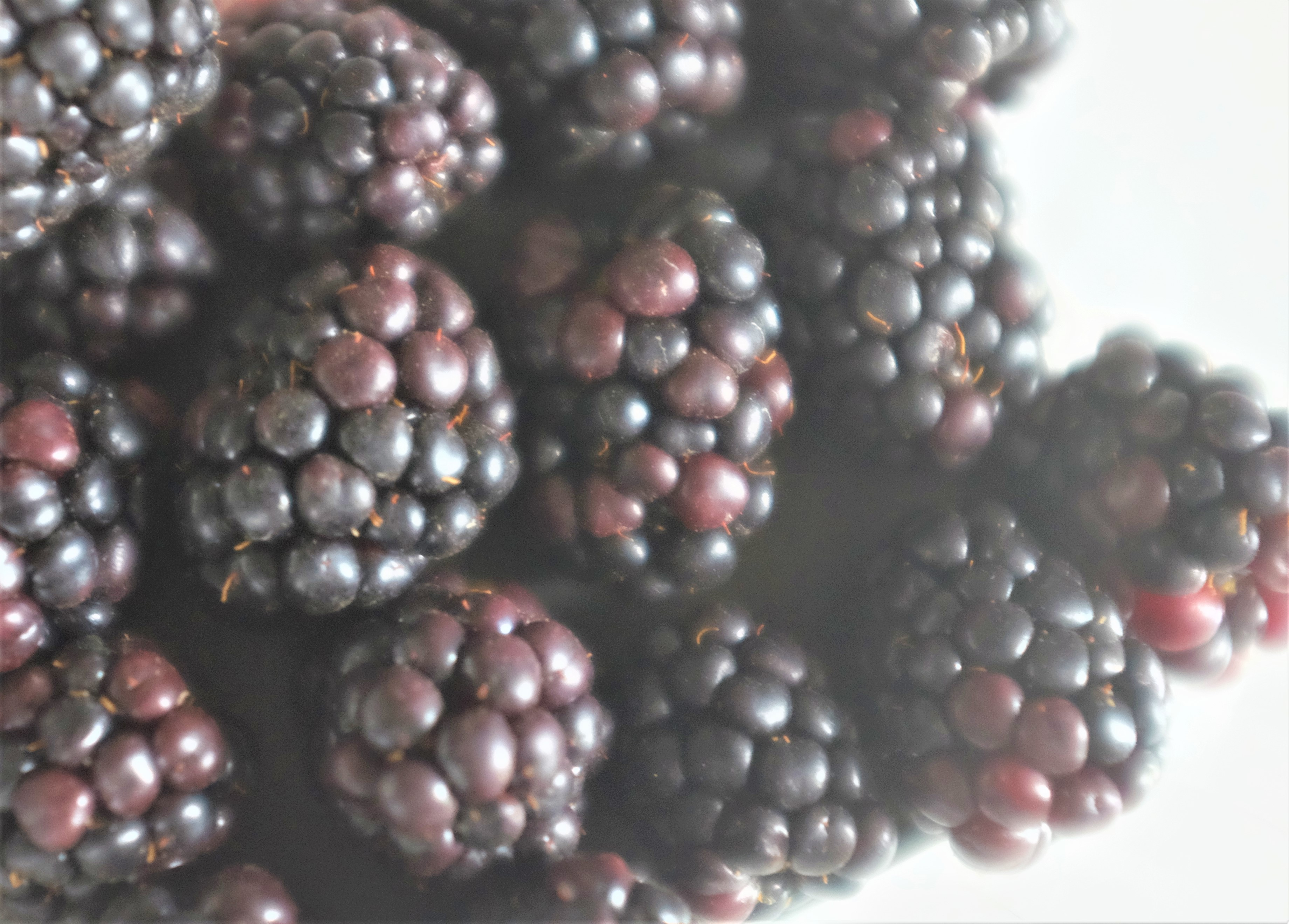 Blackberries up close